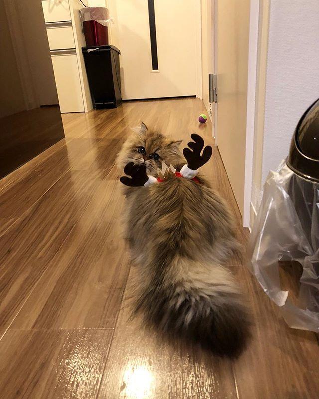 むぎトナカイ😸🎄 腹巻きになってる😂💦 . #猫 #子猫 #ねこ #こねこ #ねこ部 #ねこぶ #にゃんこ #にゃんこ部 #にゃんすたぐらむ #にゃんすた #キャットstagram  #cat #catstagram #きゃっとすたぐらむ #愛猫 #8ヶ月  #ペルシャ #ペルシャ猫 #persiancat #メス #チンチラ #チンチラ子猫 #チンチラペルシャ #チンチラゴールデン #ねこ好き #むぎの成長記録 #ねこのいる生活 #ねことの暮らし #猫とふたり暮らし #🐱