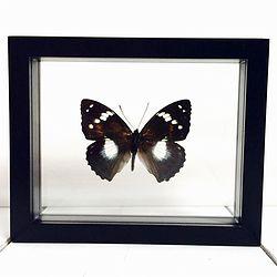 Vlinder in lijst Mimathyma Schrenkï. Deze verfijnde lijst bevat een Chinese Mimathyma Schrenkï vlinder.