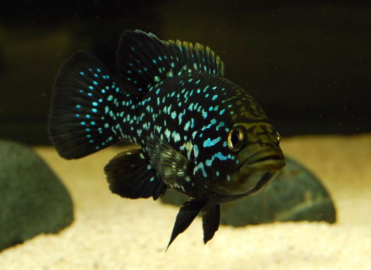 Rare African Cichlids | Post your african cichlids - WaterWolves - Exotic, Rare and Predatory ...