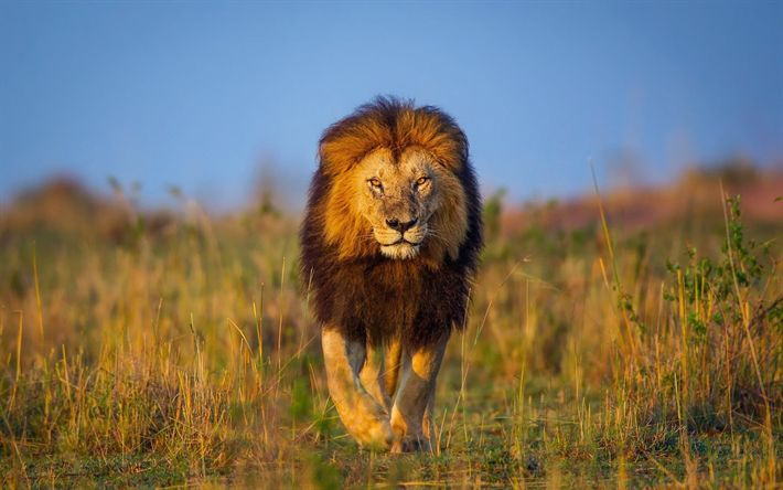 Download wallpapers Lion, wildlife, savannah, Africa, Panthera leo