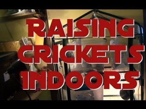 Raising and Breeding Crickets Indoors 101 - Breeding Feeder Crickets for your reptiles in ten days - YouTube