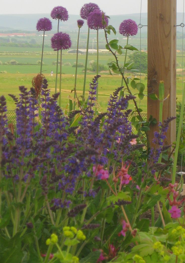 Alliums, geraniums and salvia - planting by Goose Green Design