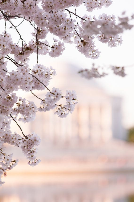 The Significance Of The Cherry Blossom Tree In Japanese Culture Goes Back Hundreds Of Years In Flower Background Wallpaper Flower Backgrounds Spring Wallpaper