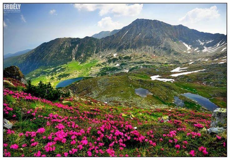 Kárpát-medence virágai - Havasszépe - Gáles-völgy - Retyezát - Erdély fotó Dénes László