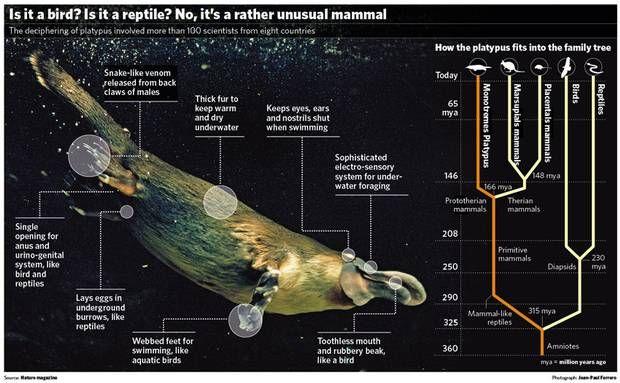 Evolution of platypus