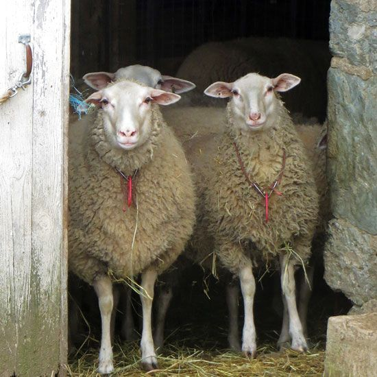 """""""Best Sheep Breeds for Homesteaders""""Looking for an efficient, versatile type of backyard livestock for your small acreage? Here's a crash course on how to raise the best sheep breeds for your needs — including everything from meat sheep breeds and hair sheep breeds to livestock health care and predator control. From MOTHER EARTH NEWS Magazine"""