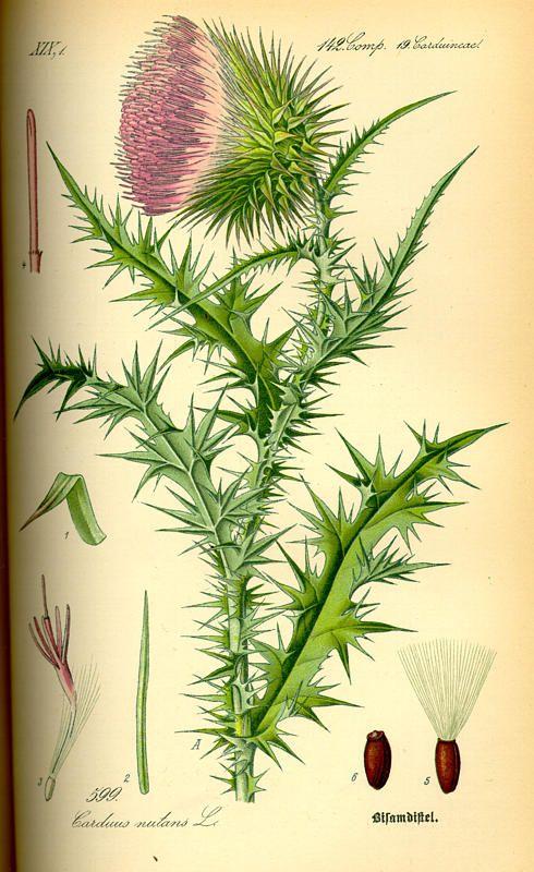 Milk Thistle > the seeds are a powerful liver tonic/cleanser ...    Flora von Deutschland Österreich und der Schweiz (1885)
