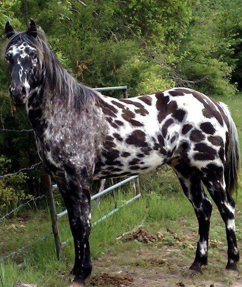 100% Foundation Appaloosa stallion, Drea Sundys Fireagle.  Owned/photo by Bonnie Spencer via Hags with Nags on FB.