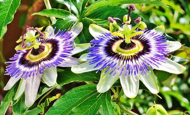 climbing flowering vine | Passion Flower - Annual Climbing Vine