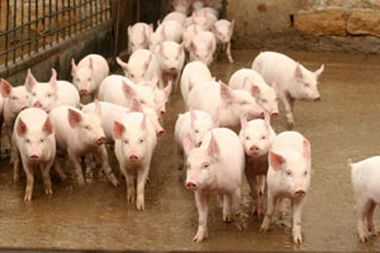 Bulgarian White Pig
