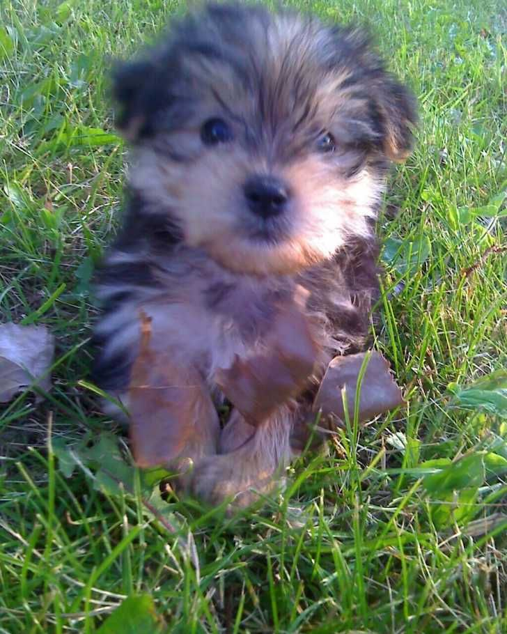 11 Week Old Female Morkie | Morkies For Sale | Cedar Rapids, Iowa | 232302