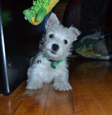 West Highland White Terrier pups
