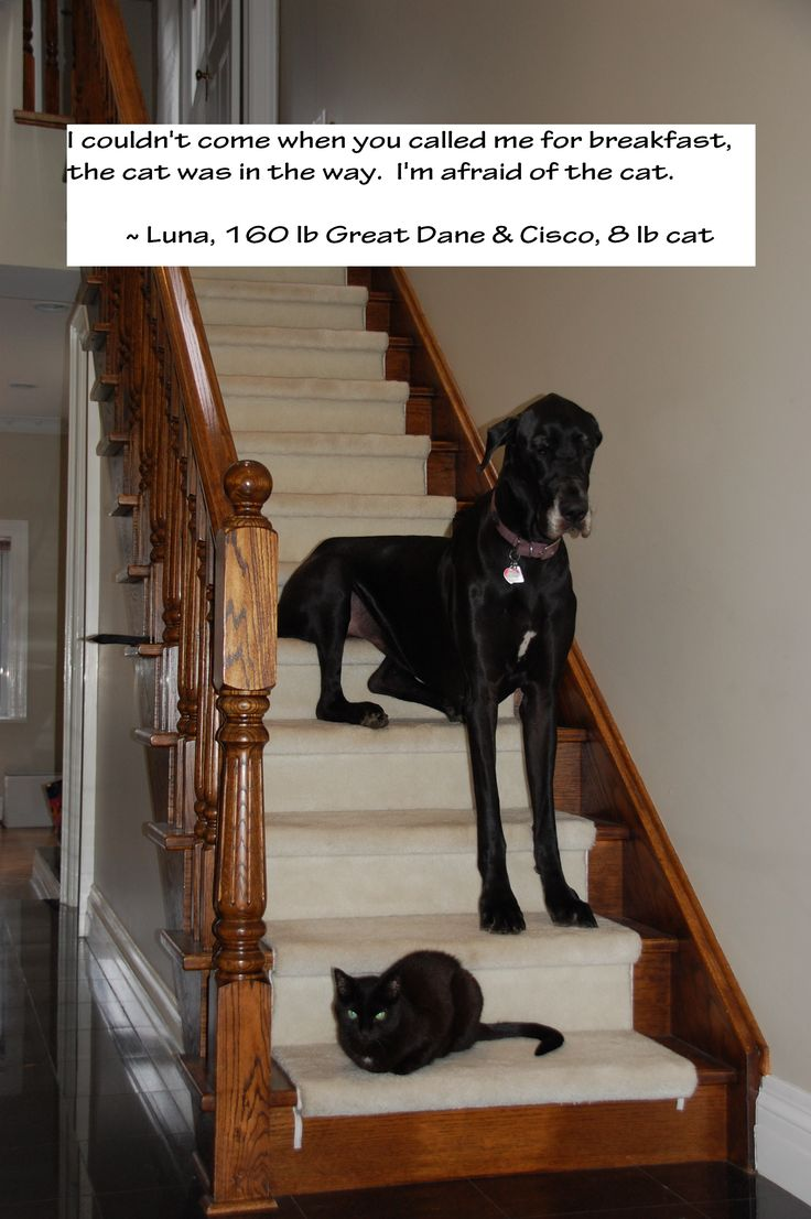 Luna, our 160 pound Great Dane is scared of our little 8 pound cat, Cisco. This photo was taken when I called Luna for breakfast and she didn't come. I found her unwilling to walk by the cat on the stairs … even to come get her breakfast.