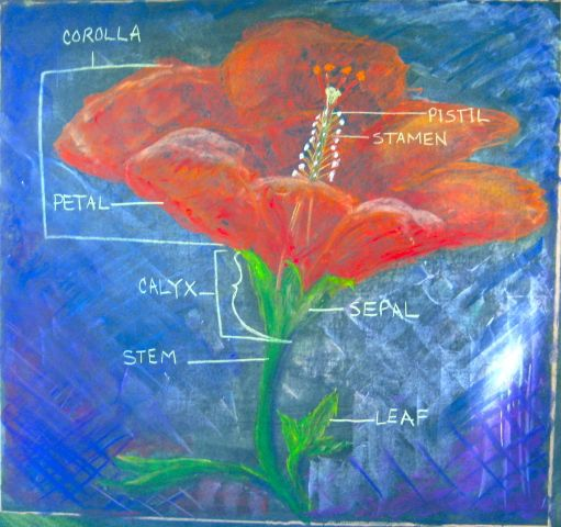 Waldorf ~ 5th grade ~ Botany ~ Hibiscus ~ Parts of Flower ~ chalkboard drawing