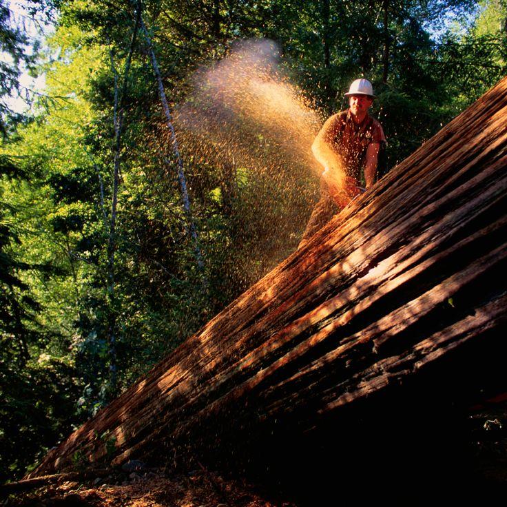 """Bir günlükçü, 1993 yılında Redwood Ulusal Parkı'nda 1000 yaşında olan 300 ayak uzunluğunda bir Redwood ağacını keser. Bugün kırmızı tahta içeren bölge önemli iklim değişikliği geçirir ve Save the Redwoods organizasyonu bu muhteşem değişikliklere en iyi nasıl yardımcı olabileceğini öğrenmek için bu değişiklikleri inceliyor. Ağaçlar hayatta.  Web sitesinde yer alan bir video, """"Kereste şirketleri ile çalışmak istiyoruz, parklar, diğer kamu kurumları ve halkımızın bu yoğun kaynaklara sahip…"""