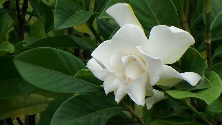 গনধ ভর গনধরজ Gardenia Jasminoides Plant Cape