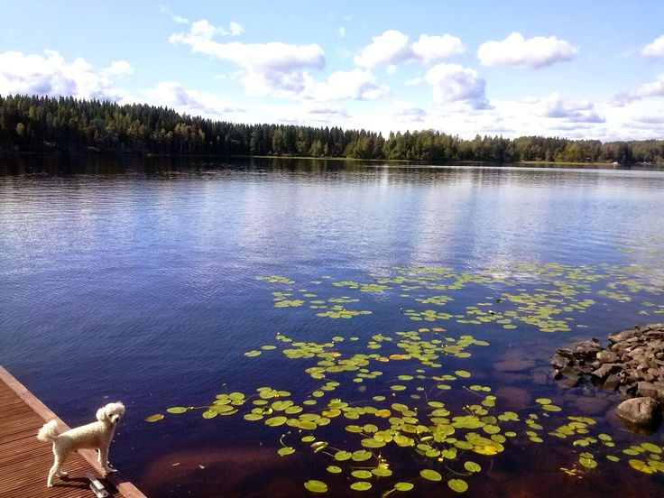 Tobbe the Poodle in summer Finland <3