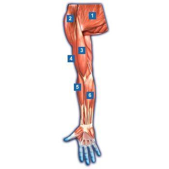 1.großer Brustmuskel (Musculus pectoralis major)  2.Deltamuskel (Musculus deltoideus)  3.zweiköpfiger Armmuskel (Musculus bizeps brachii)  4.dreiköpfiger Armmuskel (Musculus trizeps brachii)  5.Oberarm-Speichenmuskel (Musculus brachioradialis)  6.Hand-/Fingerbeugemuskulatur (Musculi flexores digiti)