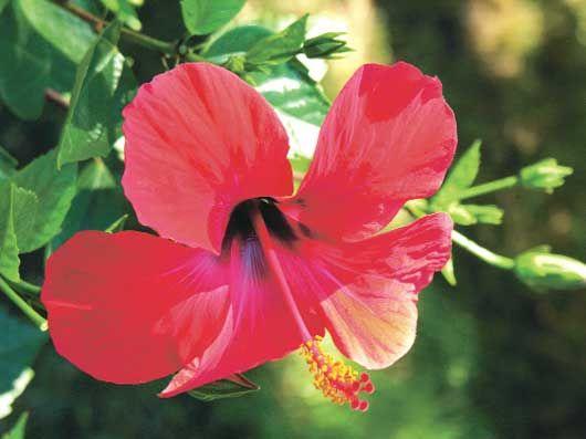Hibiskus (Hibiskus Sabdariffaun) Hibiskus (Hibiskus Sabdariffaun) ülkemizde yöreden yöreye farklı adlarla anılır, bunlar arasında amber çiçeği veya gülhatmi en çok kullanılanıdır.   Hibiskus bitkisi kan şekerinin ve yüksek tansiyonun dengelenmesinde yardımcıdır. Bununla da kalmayıp iyi huylu kolesterolün yükseltilmesinde de yardımcı olabilmektedir. Hibiskus iyi bir yardımcıdır, kesinlikle bir ilaç olarak değerlendirilmemelidir.  Şeker hastaları hekimlerinin önerdikleri ilaçlarını almalıdır.