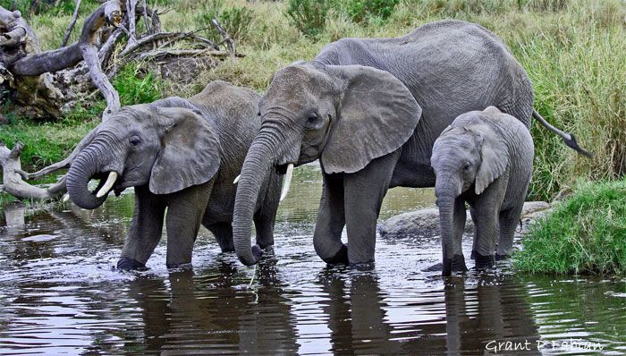 That's exactly the way elephants drinking water. They does use their trunks, but not like the way using a straw. Elephant facts for kids: http://factoflife.net/animals/interesting-elephant-facts-for-kids.html