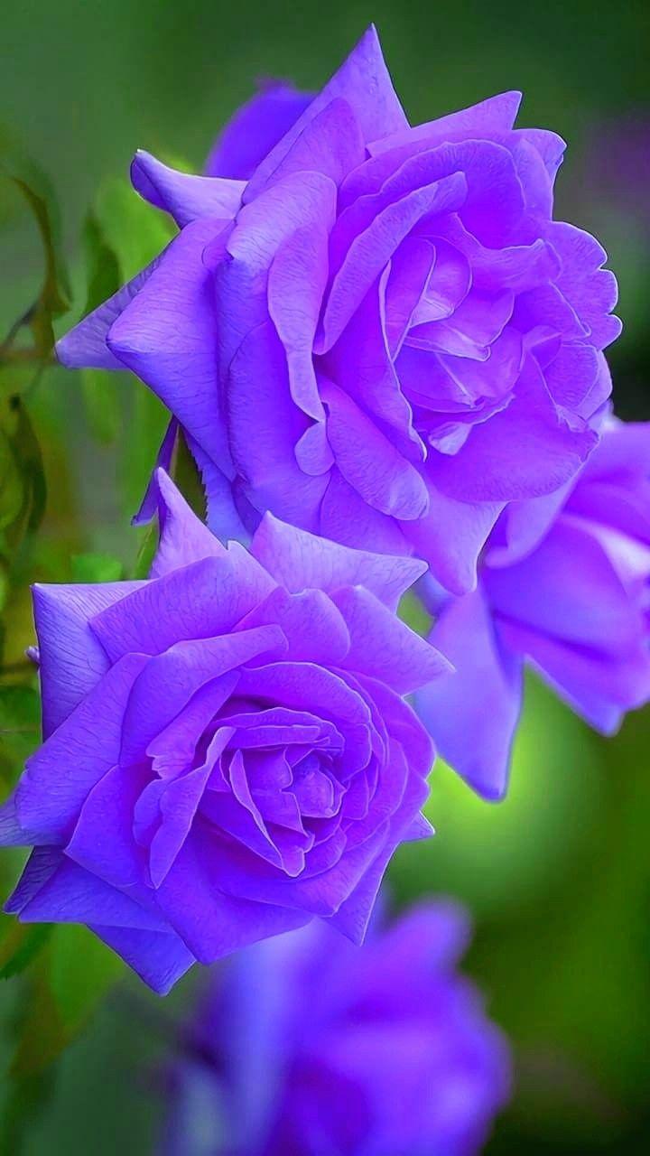 Purple Roses Beautiful Rose Flowers Purple Wedding Flowers Rose Flower