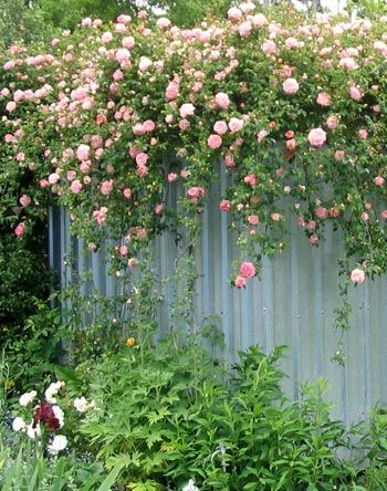 Pink Rambler Rose. This climbing rose covers the woodshed when in bloom.