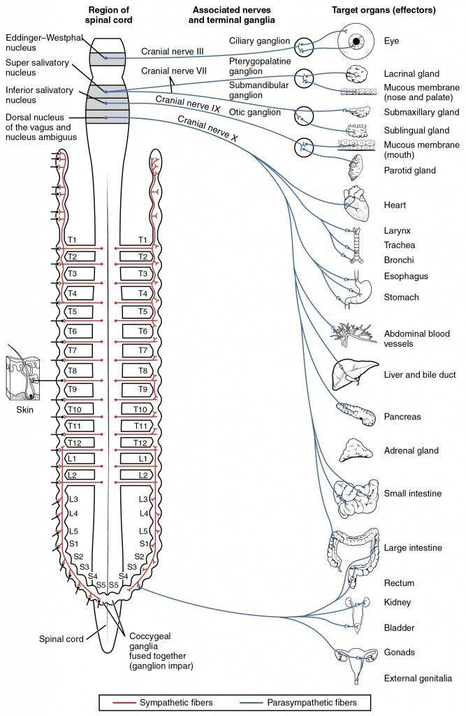 21 best Nervous System Diagram for Kids images on