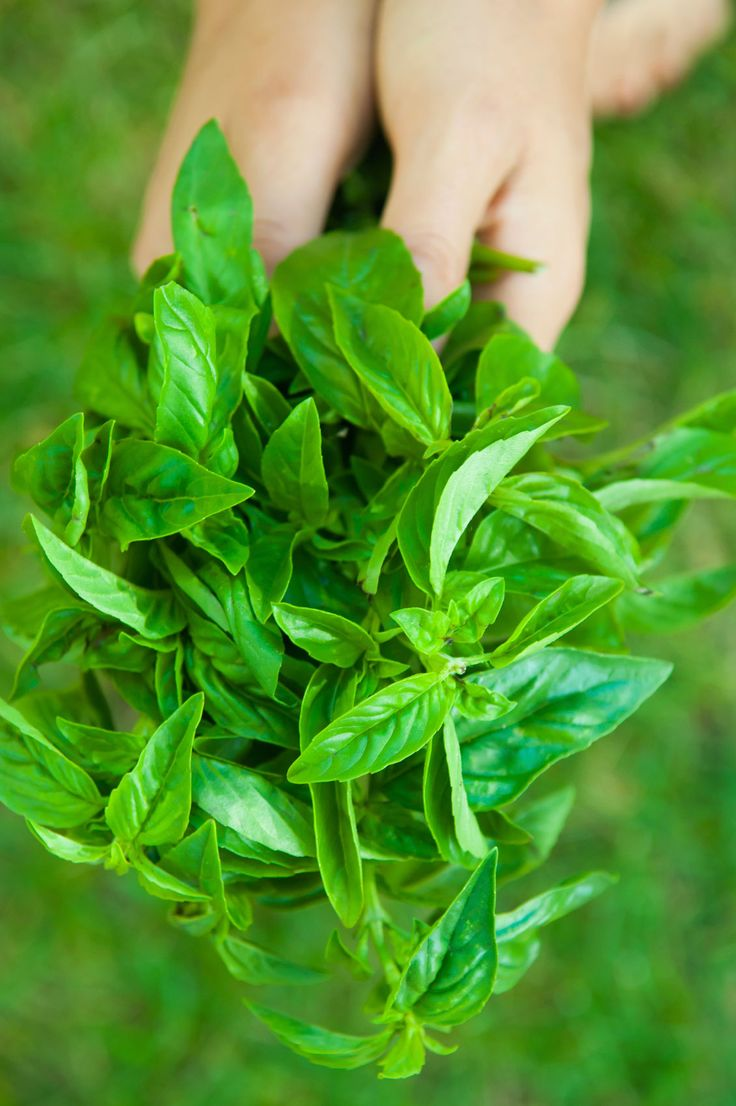 basil care after season can you keep basil through winter gardening dried basil leaves. Black Bedroom Furniture Sets. Home Design Ideas