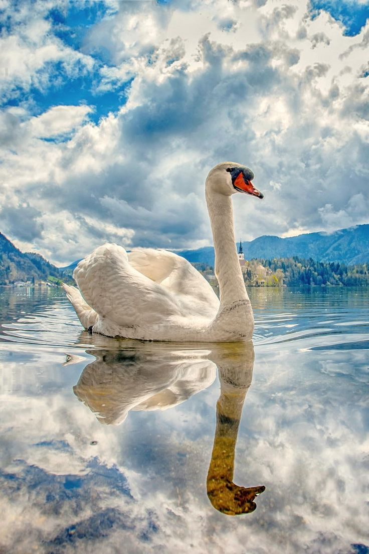 swan by albin bezjak reflection birds of a feather