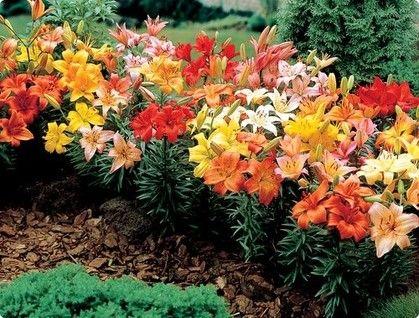 Четыре способа размножения лилии - описание, размножение, уход, посадка, фото, применение в саду, сорта и виды