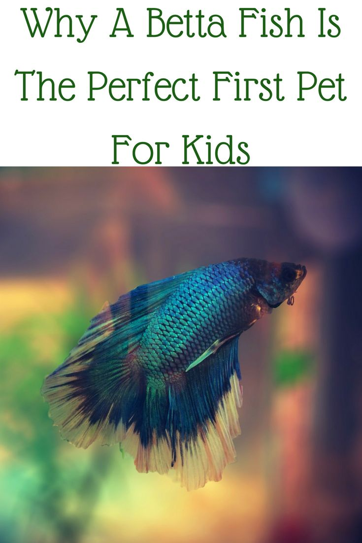 32 best aquarium fish images on pinterest aquarium fish for How much are betta fish