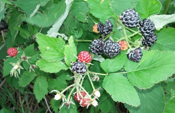 Wild Black Raspberry Seeds Organic Black by ArtisticApothecary, $2.00
