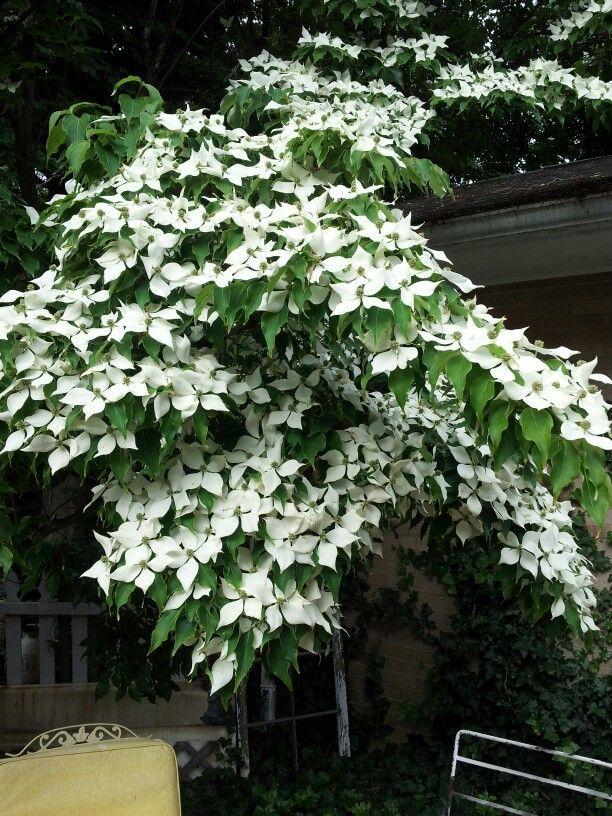 Kousa dogwood more disease tolerant than flowering for Miniature shade trees