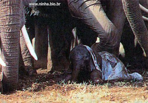 Elefante recém-nascido , as parteiras ajudam na limpeza do bebê , auxiliam-no a se levantar e o guiam até as tetas da mãe . Umas duas horas depois do parto o grupo se junta e as parteiras auxiliam o caminhar do bebê cambaleante .