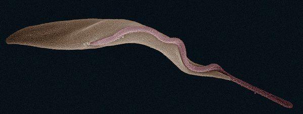 PLOS Biology @PLOSBiology  48m48 minutes ago An epigenetic Achilles' heel for the #SleepingSickness parasite? #trypanosome #PLOSBiology http://plos.io/1XVFocK