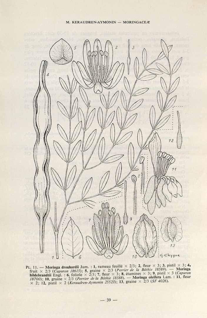 Moringa oleifera Lam. / Flore de Madagascar et des Comores, Moringacées,  (1982) [G. Chypre]