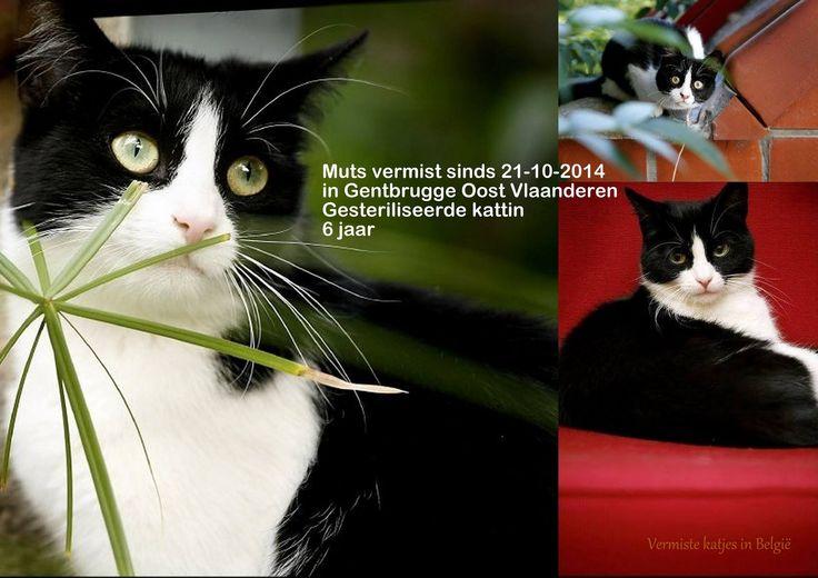 Muts #vermist in #Gentbrugge in Oost Vl sinds 21-10-2014 Gesteriliseerde #kattin van 6 jaar verdween in de omgeving van de Braemstraat  Contact: Sofie +32479650586  buitenkat  in tuintjes achter de huizen . Door dakwerken van onze buur, is ze waarschijnlijk kunnen ontsnappen. Ze is de straat met auto's absoluut niet gewoon. sofie van hoof https://www.facebook.com/sofie.vanhoof.3
