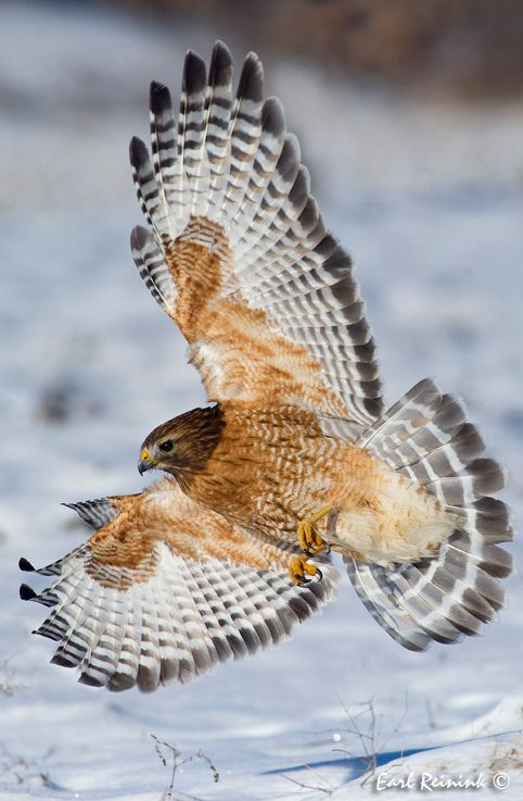 Red-shouldered Hawk   Photo by Earl Reinink on Flickr