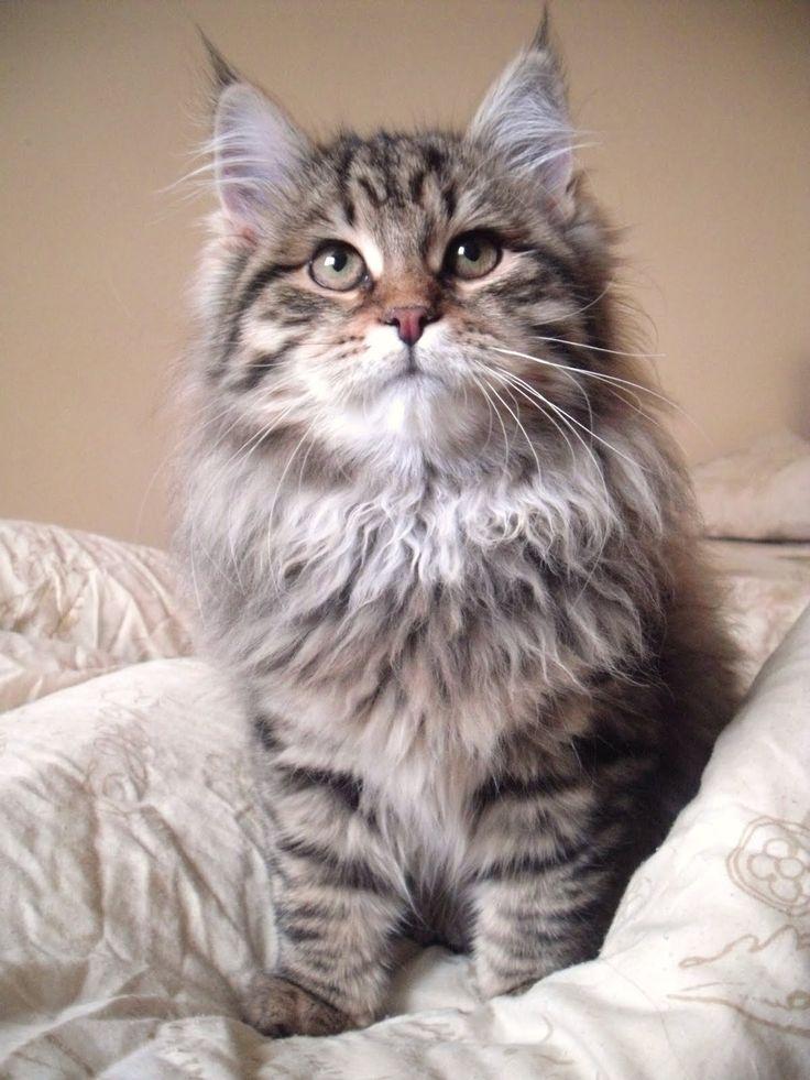Siberian kitten http://www.mainecoonguide.com/