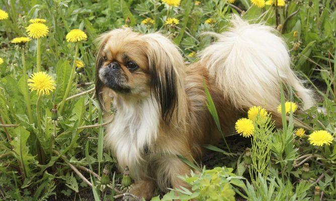 Pequines Raza Perro Mascotas Hogarmania Perros Razas De