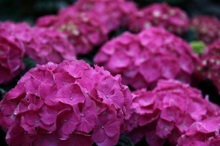 M s de 25 ideas incre bles sobre arbustos en pinterest - Cuando podar las hortensias ...