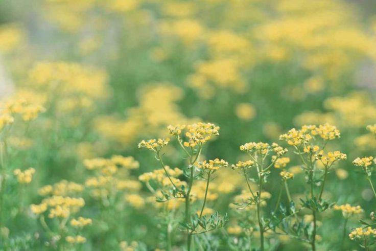 La ruda es una planta utilizada desde tiempos inmemoriales en la medicina y se la considera una hierba protectora. Es un arbusto resistente de hoja perenne que ha sido nombrado en la literatura como la hierba de la memoria, el amparo y la curación. Tiene un olor y sabor desagradable, amargo, y puede llegar a ser tóxi