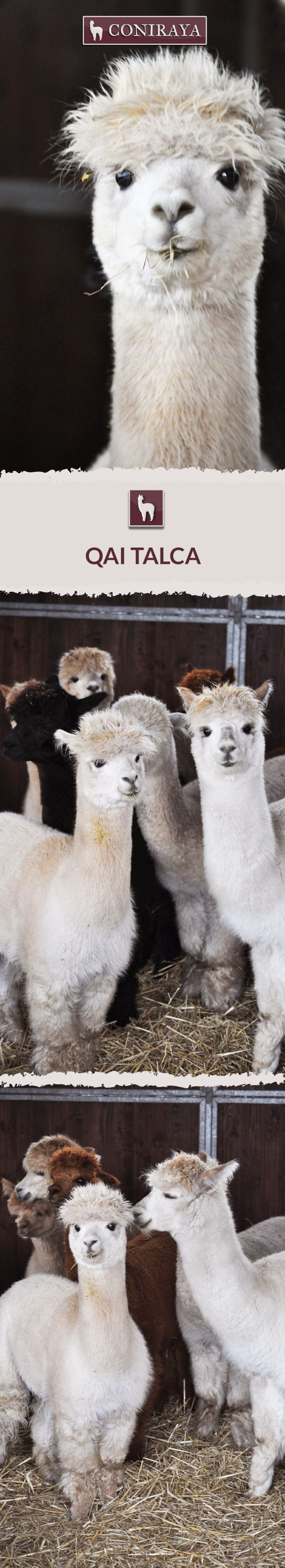 Meet Coniraya - QAI Talca. This Alpaca was born in 2013 and its fiber is in color: Medium Fawn. Check out more details on our site!