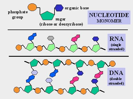 nucleotide and nucleic acid relationship