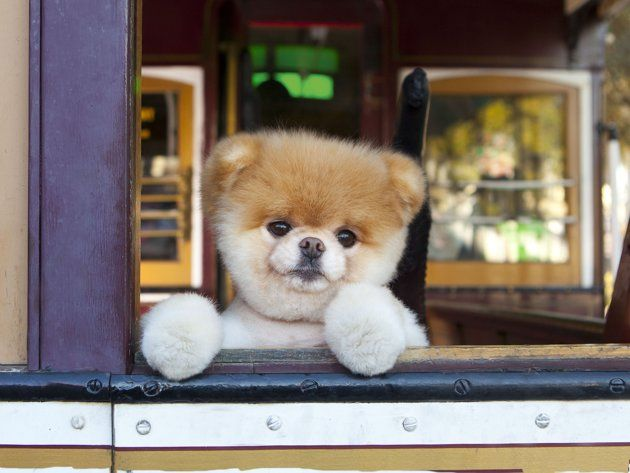 Boo: The World's Cutest Dog. This Pomeranian's a bona fide star. He has his own Facebook page – with 4.9 million fans -- two books out, plus product endorsements and his own line of toys. Check out these photos of Boo at iconic spots in San Francisco and just hanging out around the house.
