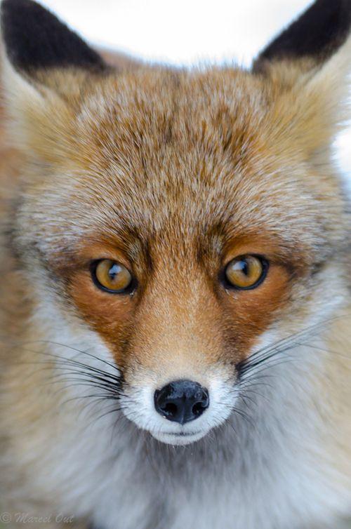 Galer De Fotos Tawny Fox