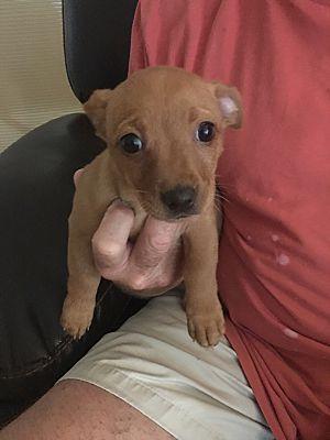 Hazelwood Mo Miniature Pinscher Meet Tara A Dog For Adoption