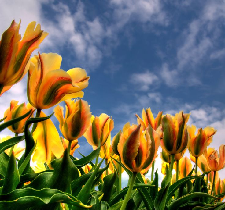 Tulipfield by hetty mellink on 500px