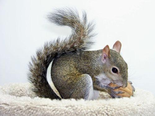Feeding Pet Squirrels: Gustav (survivor of Hurricane Gustav)
