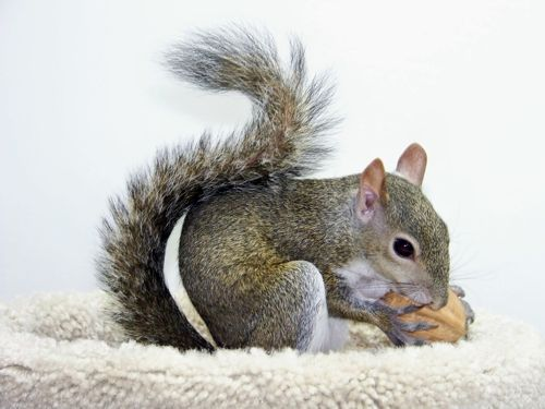 Feeding Pet Squirrels: Gustav (survivor of Hurricane Gustav)